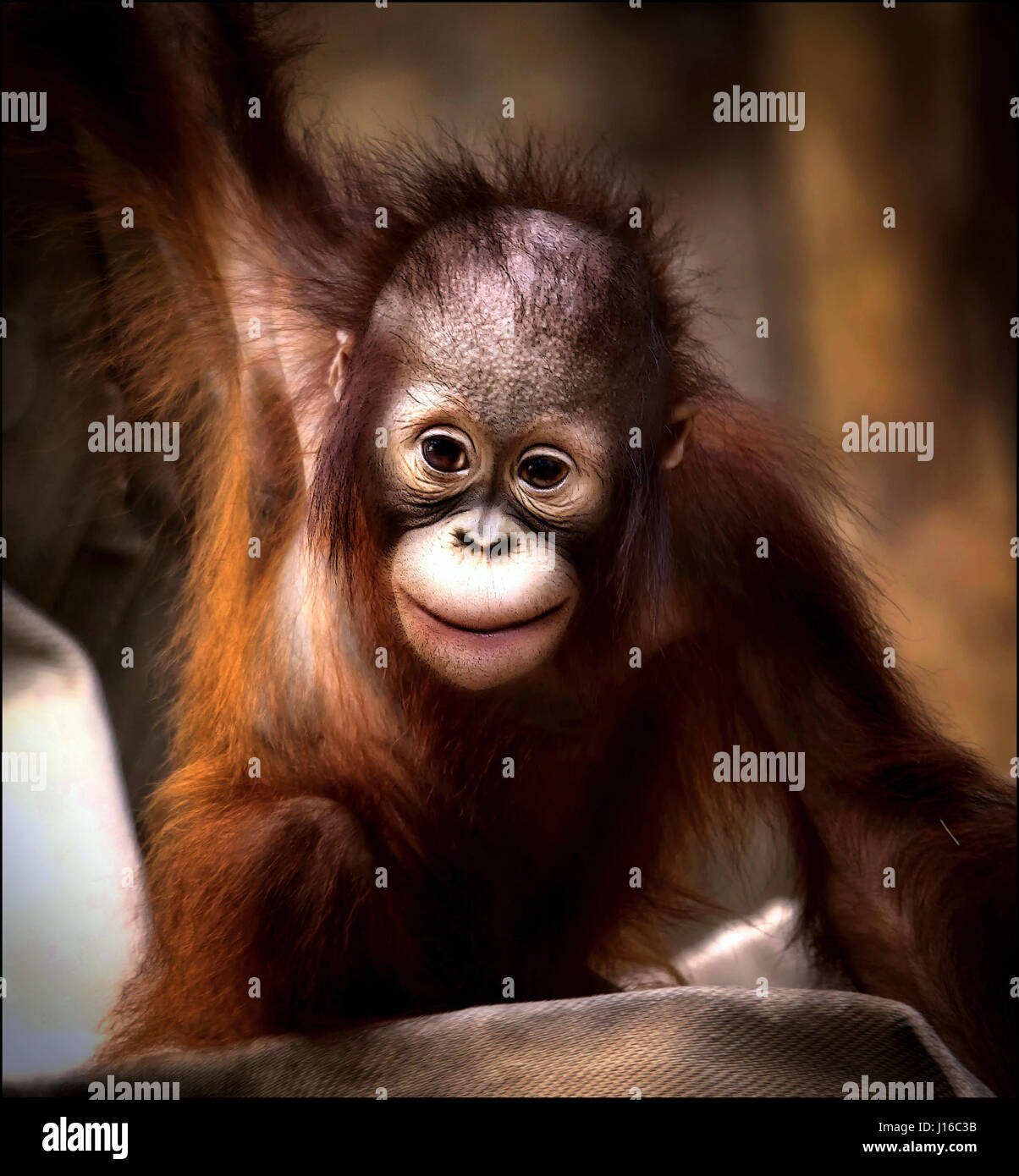 KREFELD ZOO, GERMANY: A baby orangutan smiles at the camera