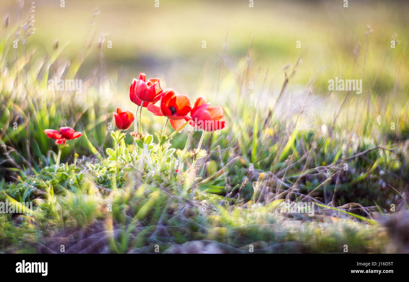 The earliest spring flowers in the sun - Stock Image