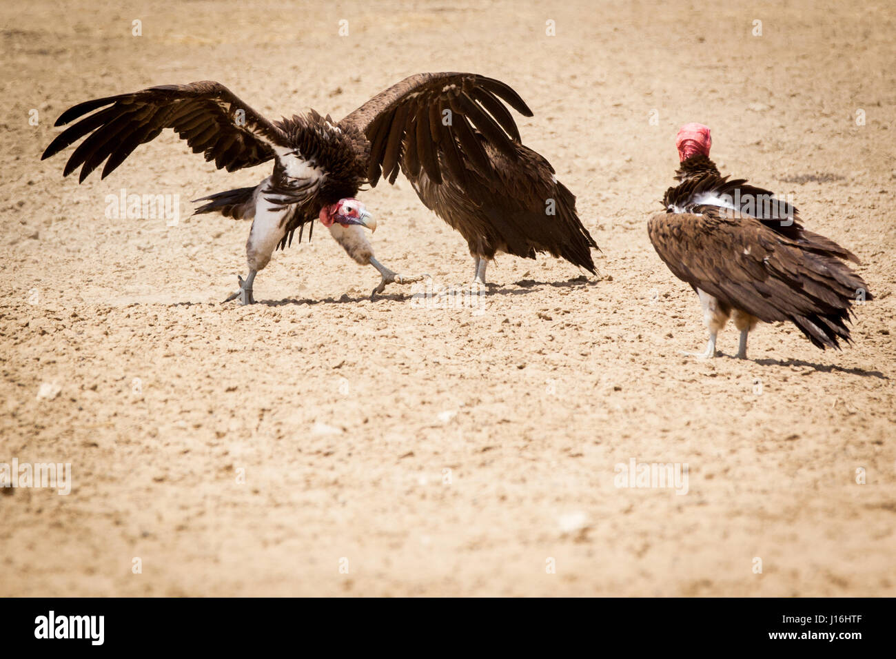Two lappet faced vultures in a fight in the Kalahari in Botswana, Africa - Stock Image