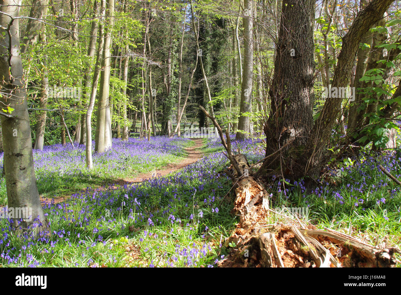 Bluebell woods at Crowthorne, Berkshire UK - Stock Image