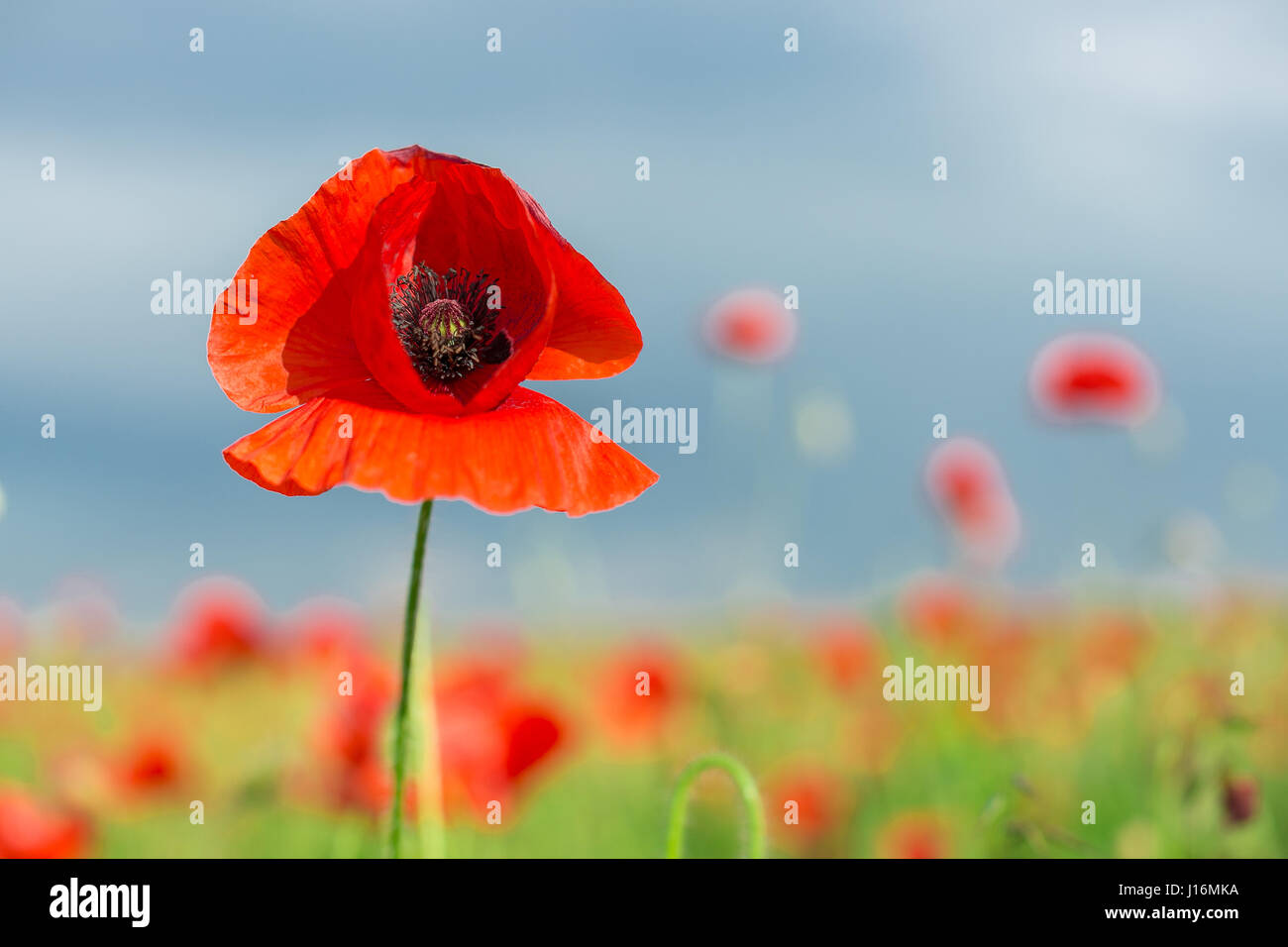 Poppy industrial farming, nature, agriculture concept - close-up on flowering poppy in the summer field, a sunny - Stock Image