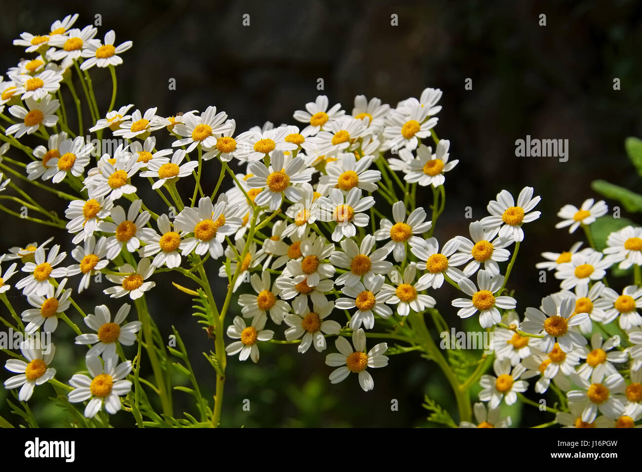 Tanacetum ferulaceum, a species of flowering plants in the aster family - Stock Image