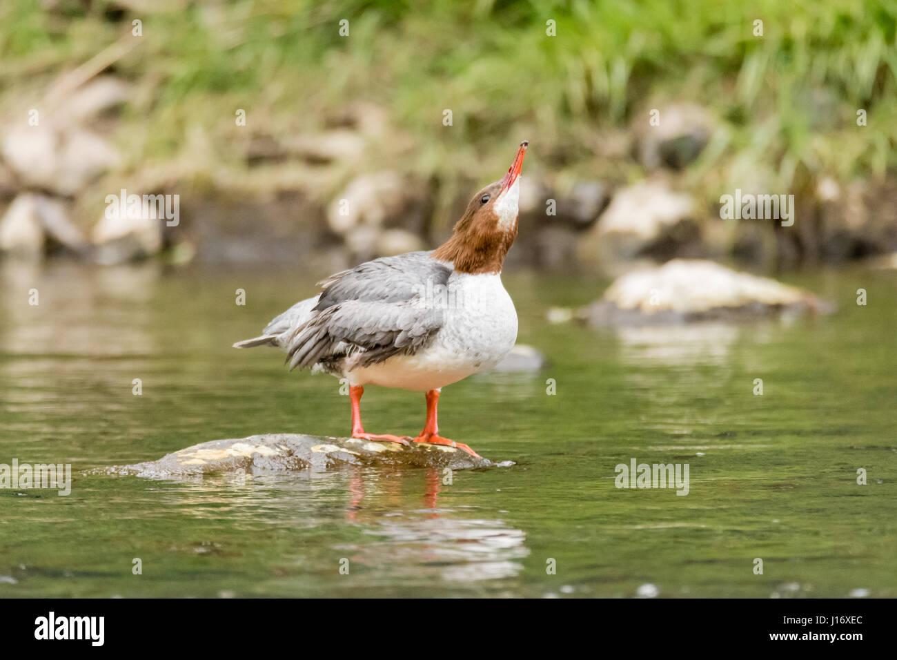 Goosander (Mergus merganser) female drinking. Sawbill duck in the family Anatidae, with crest and serated bill, - Stock Image