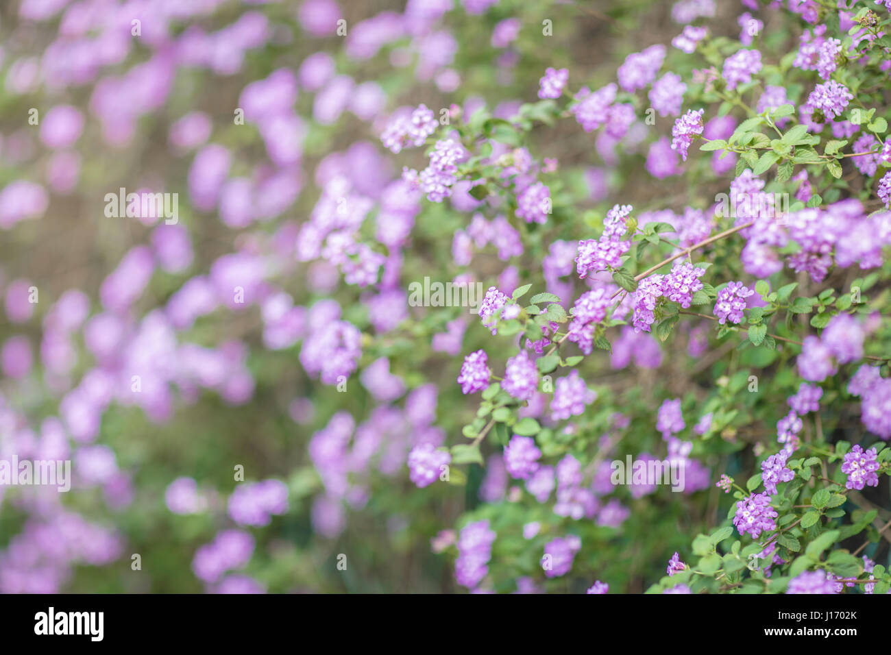 Field Of Tiny Purple Flowers In Spring Stock Photo 138451339 Alamy