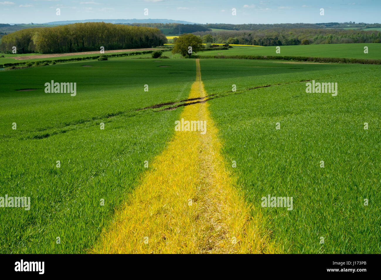 The route of a public footpath is marked out with weedkiller to discolour the crop growing in a field in Warwickshire, - Stock Image