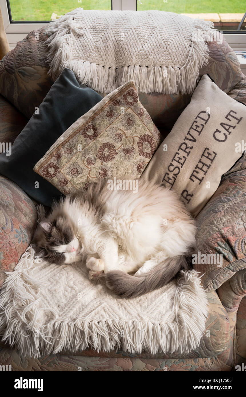A Ragdoll cat sleeping in a chair sometimes reserved for the cat - Stock Image