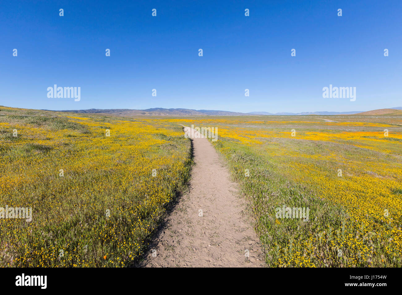 Yellow wildflowers at the Antelope Valley California Poppy Reserve State Park. - Stock Image