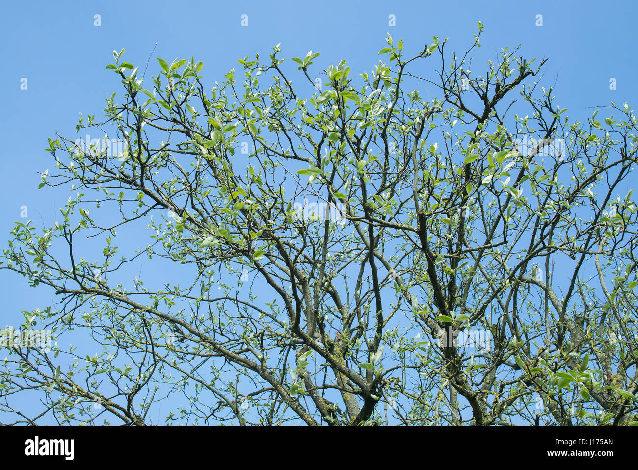 First leaves growing on cydonia oblonga fruit tree after pruning treatment to combat sickness in previous year - Stock Image