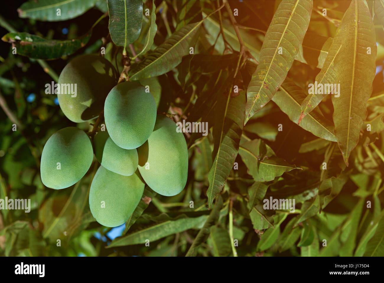 Costa Rica Mango Stock Photos & Costa Rica Mango Stock Images - Alamy