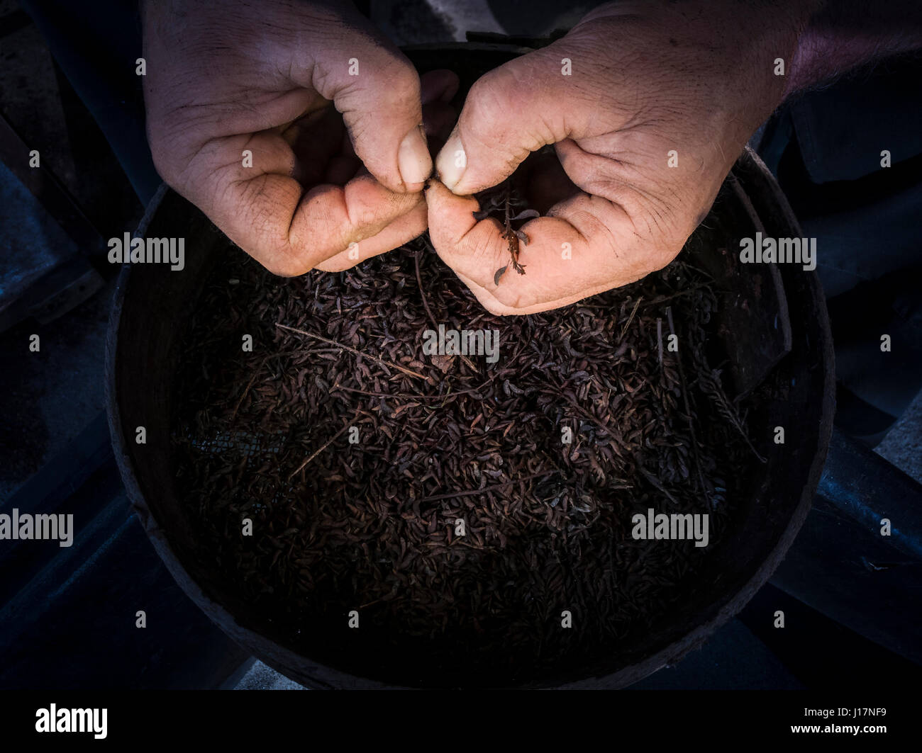 Boiling seed  to encourage germination (scarification technique).  A man is testing seed readiness by hand  before - Stock Image