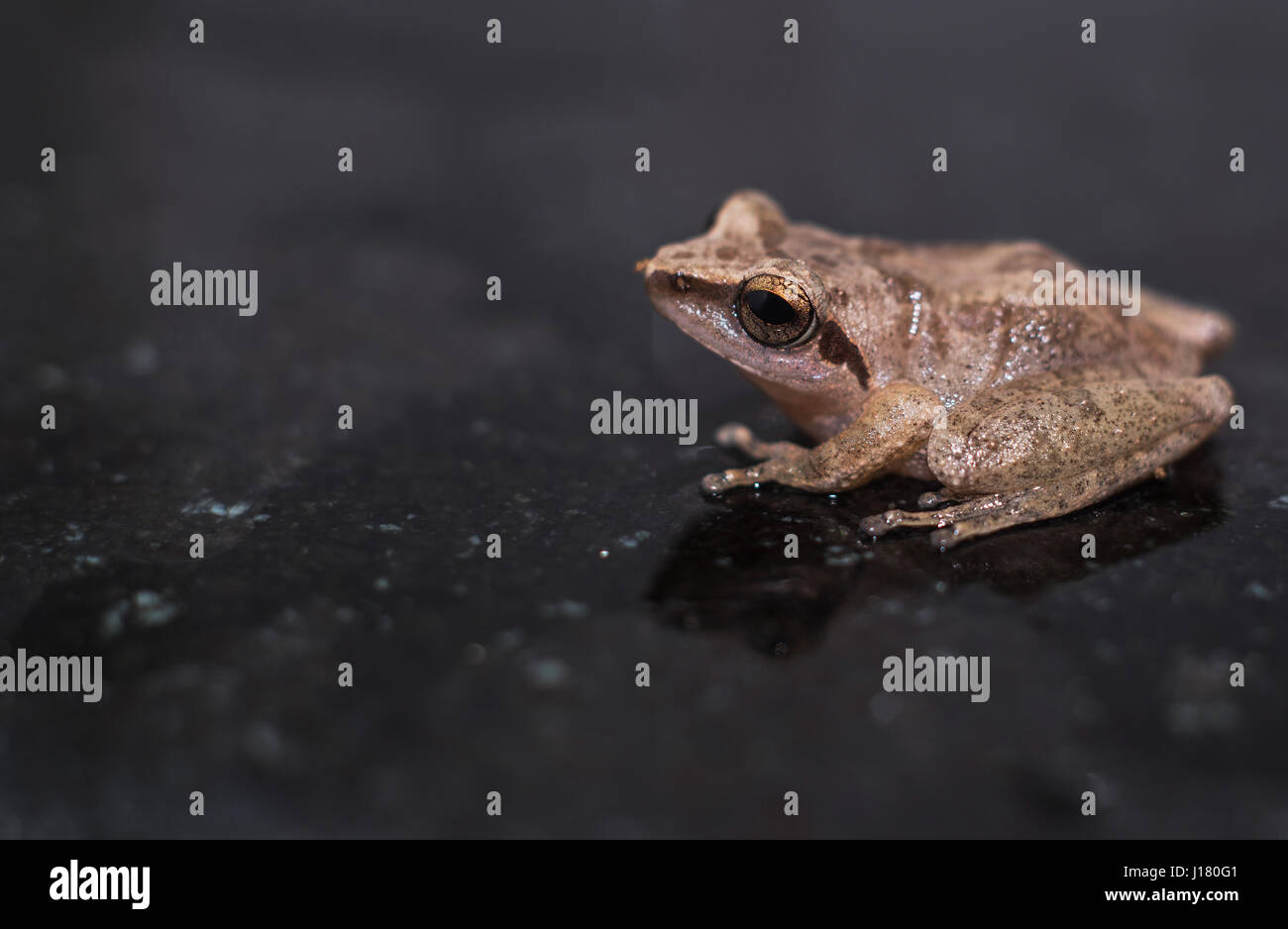 A Close Up shot of a normal Indian baby frog - Stock Image