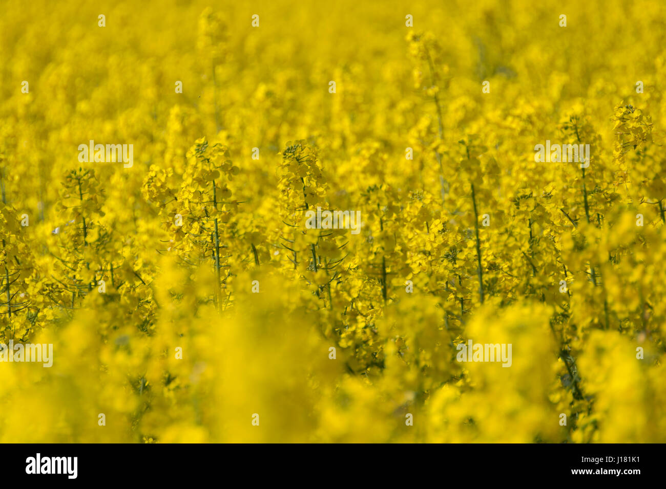 Field yellow flowers grown rapeseed stock photos field yellow fields of yellow rapeseed grown for oil extraction from its seeds stock image mightylinksfo