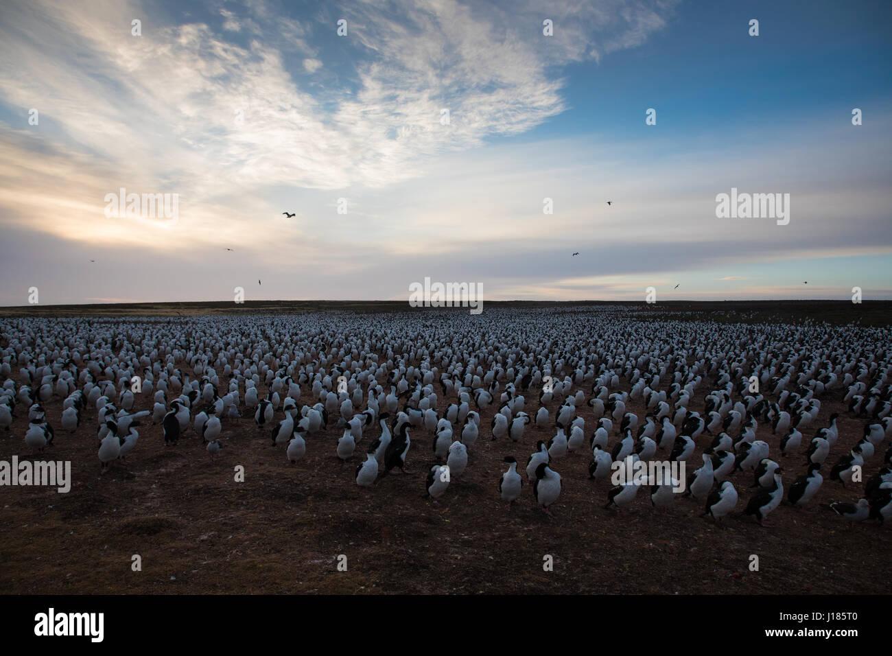 Cormorants on Bleaker Island - Stock Image