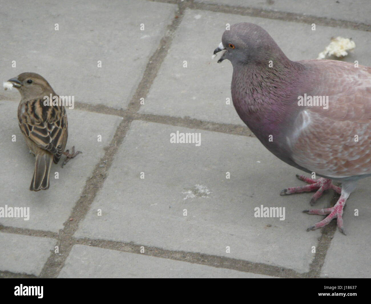 I fed the pigeons bread. And then a brisk Sparrow stole bread from a dove right out from under his beak. - Stock Image