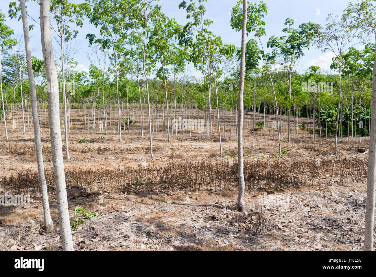 Young rubber tree plantation, Phuket, Thailand - Stock Image