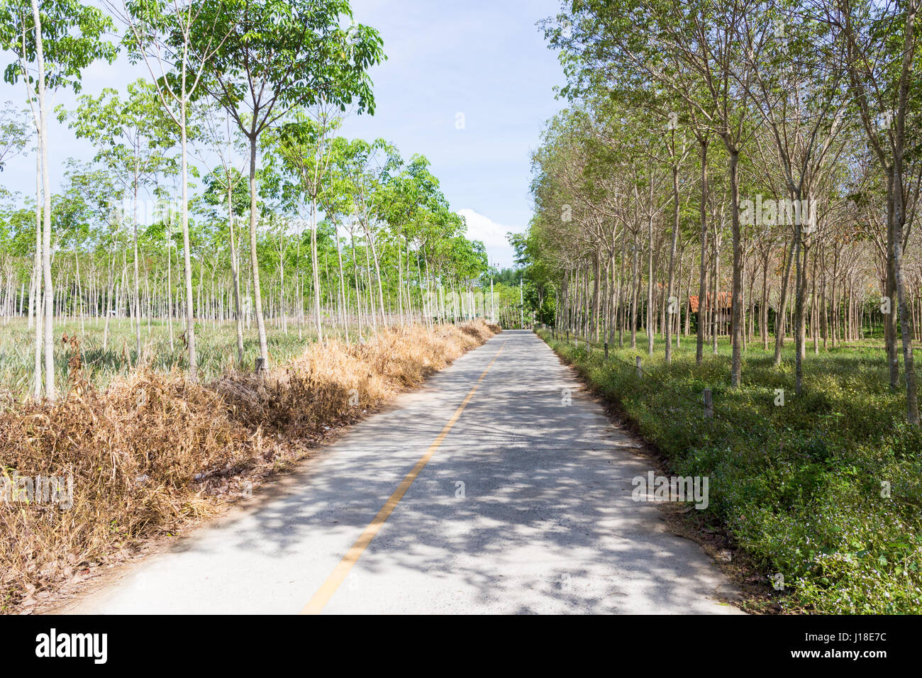 Road through young rubber tree plantations, Phuket, Thailand - Stock Image