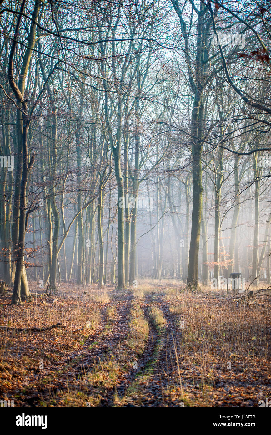 Early morning mist lingers in the beech trees - Stock Image