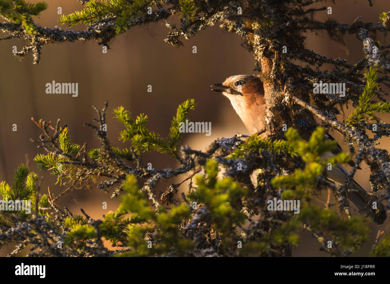 Eurasian Jay, Garrulus glandarius, sitting in a spruce tree with lichen around it, in warm evening light, Gällivare, - Stock Image