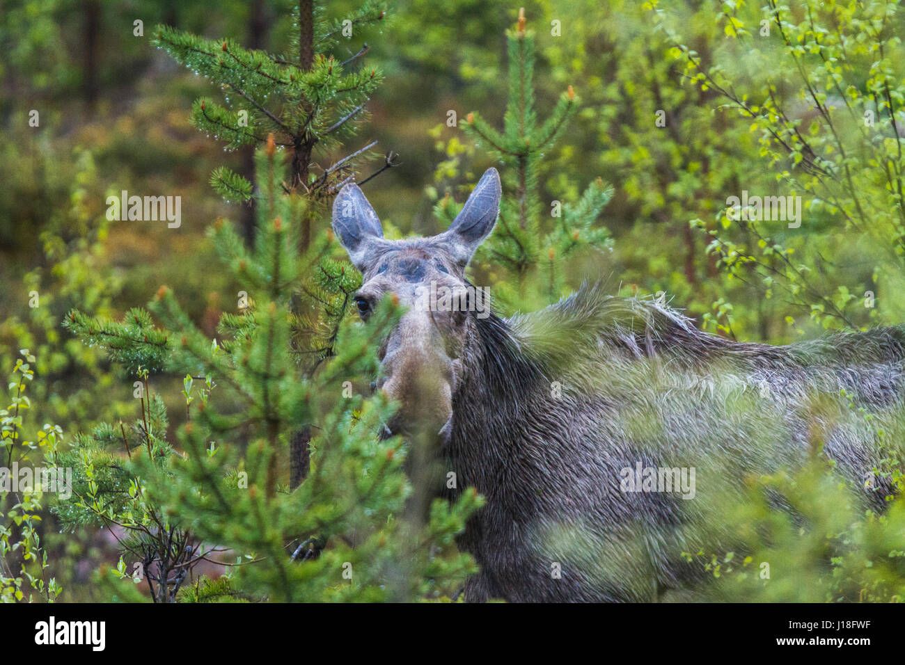 Young moose looking into the camera among birches, spruces and pine trees, Gällivare, Swedish lapland, Sweden - Stock Image