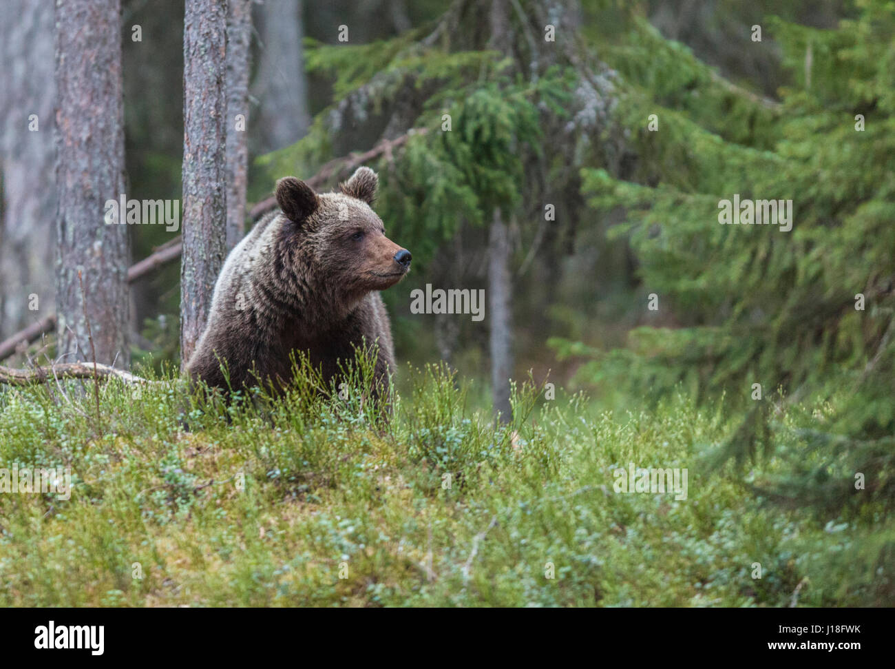 Brown bear, Ursus arctos, sitting down in forest looking at side beyond camera, Kuhmo, Finland - Stock Image