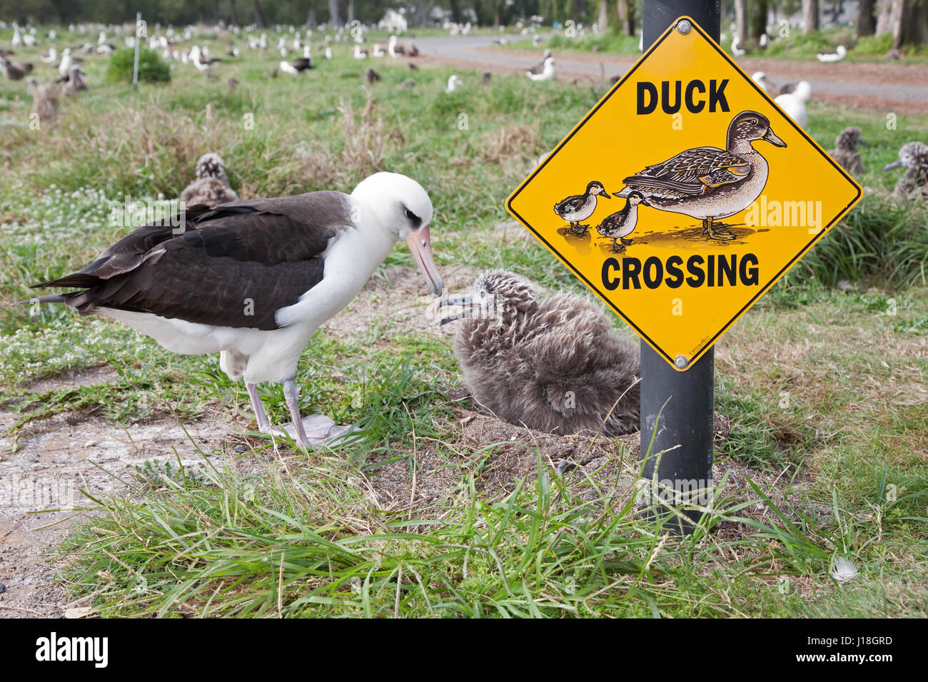 Laysan Albatross (Phoebastria immutabilis) nesting beside Duck Crossing sign. - Stock Image