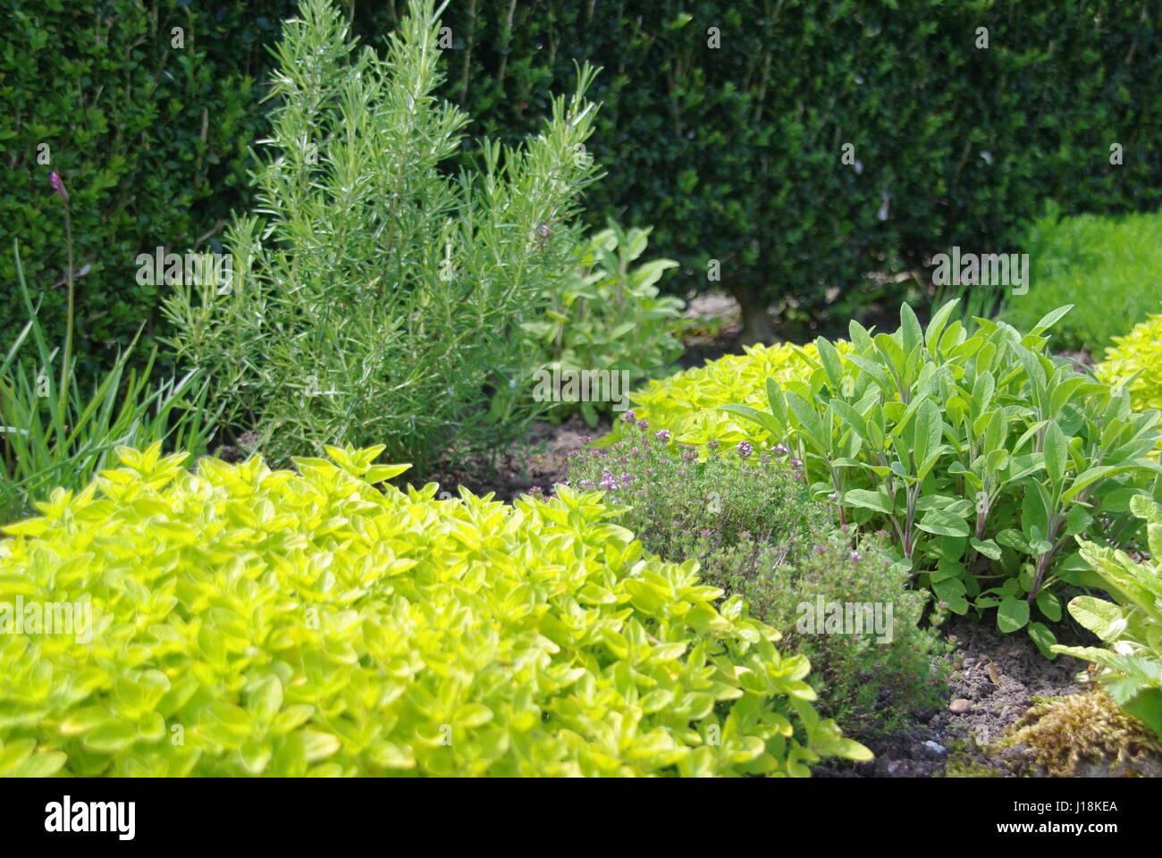 Garden Herbs - Stock Image