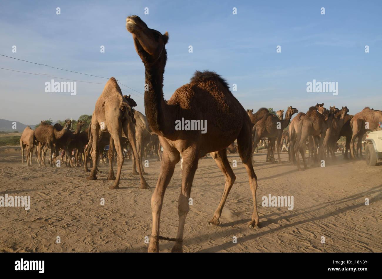 Camel herd in pushkar fair, pushkar, rajasthan, india, asia - Stock Image