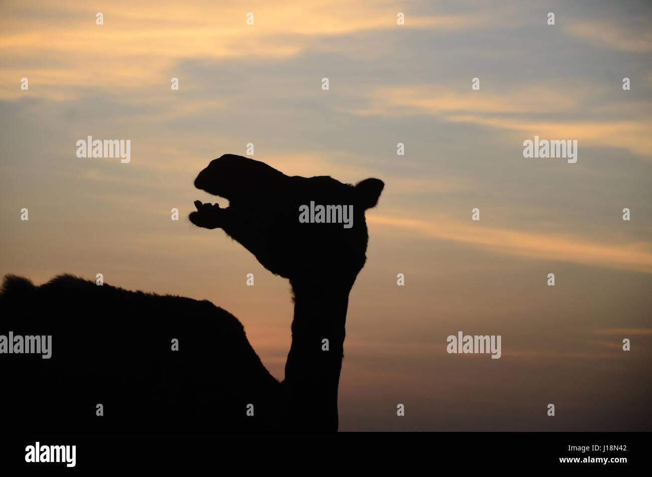Camel, pushkar, rajasthan, india, asia - Stock Image