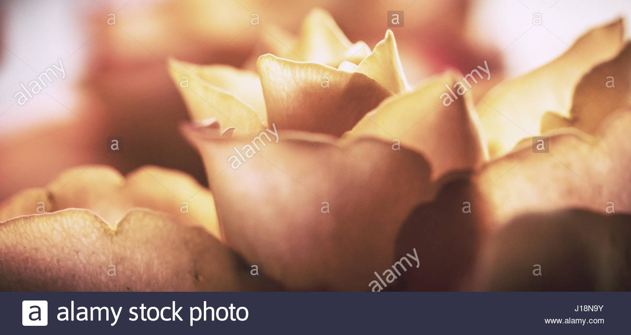 Peach colored Roses in soft lighting and soft focus stock image - Stock Image