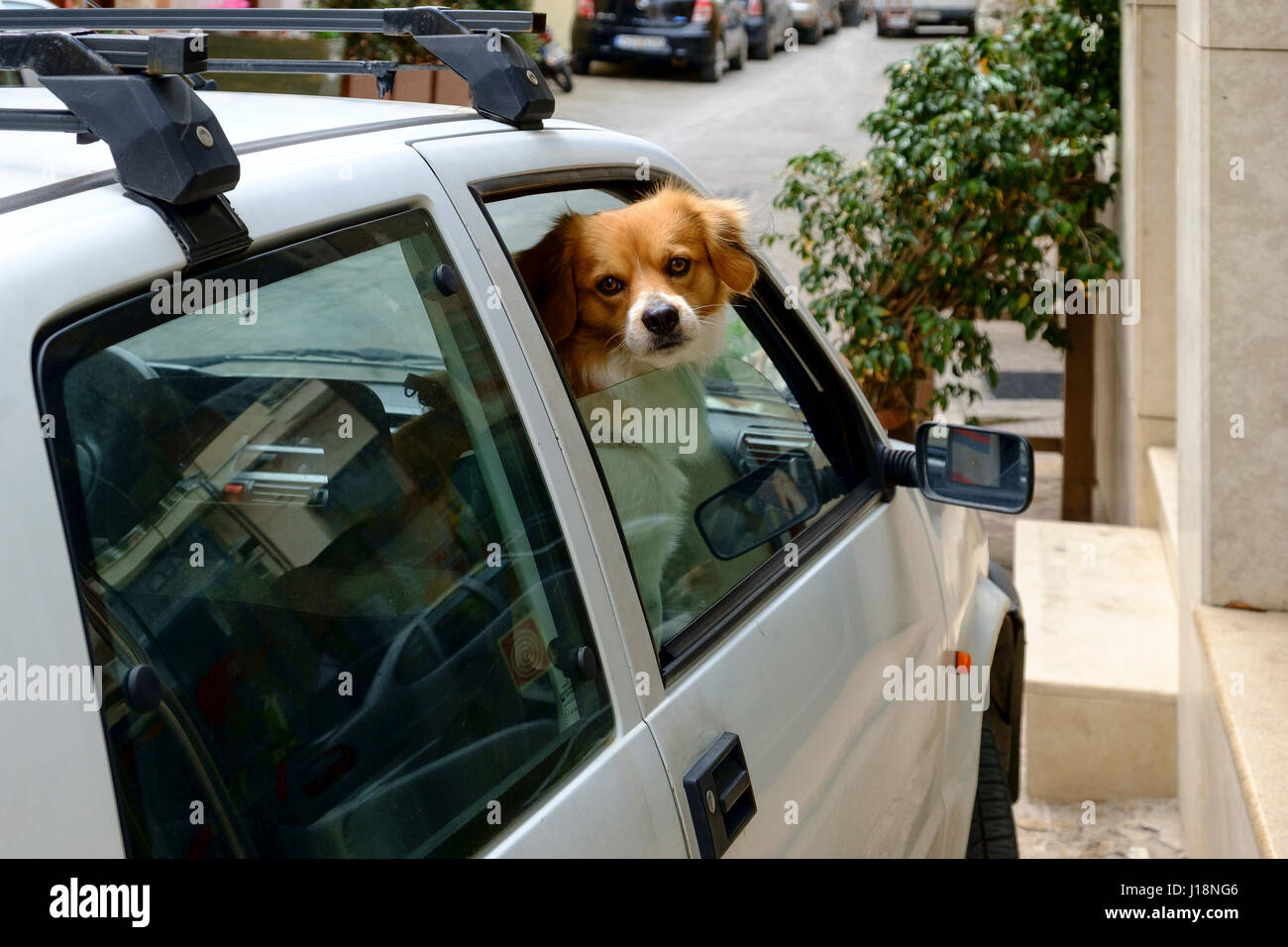 pet dog looking out car window - Stock Image