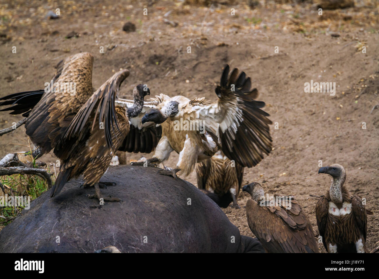White-backed vulture in Kruger national park, South Africa ; Specie Gyps africanus family of Accipitridae - Stock Image