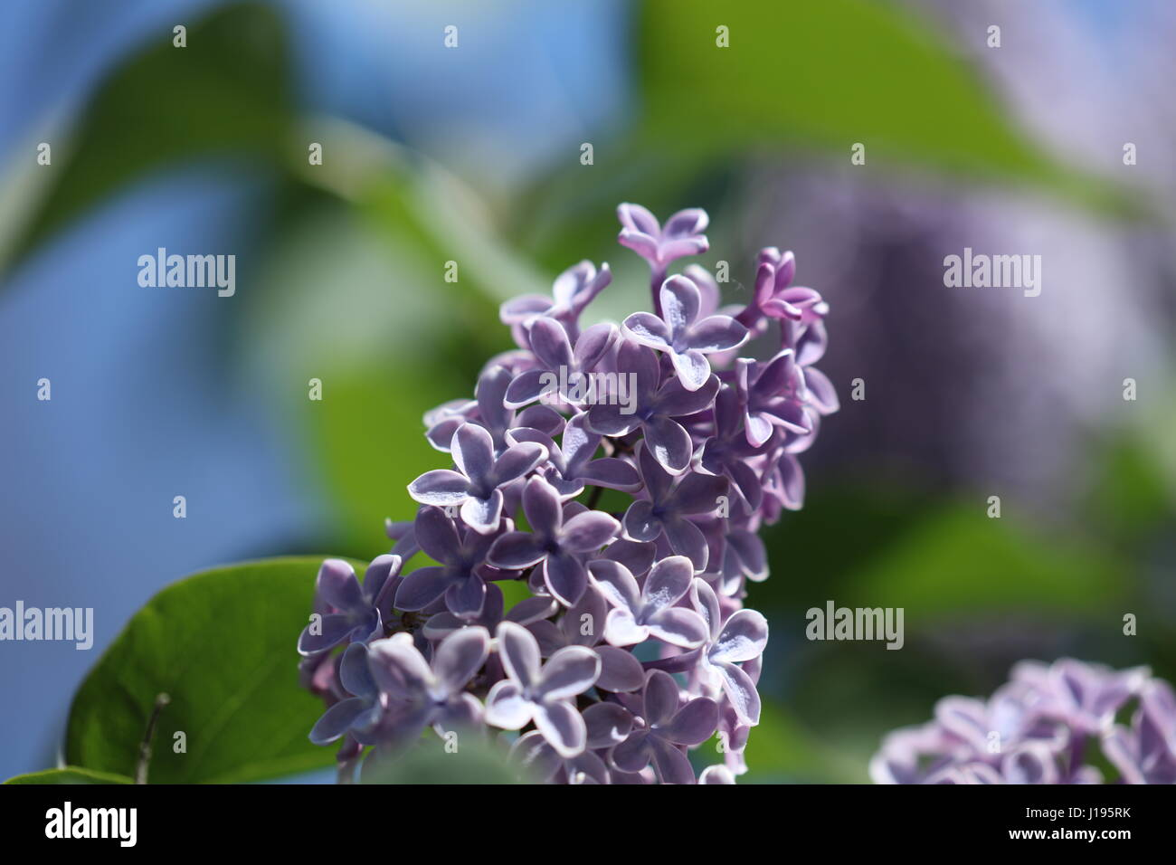 Flieder lila - Stock Image