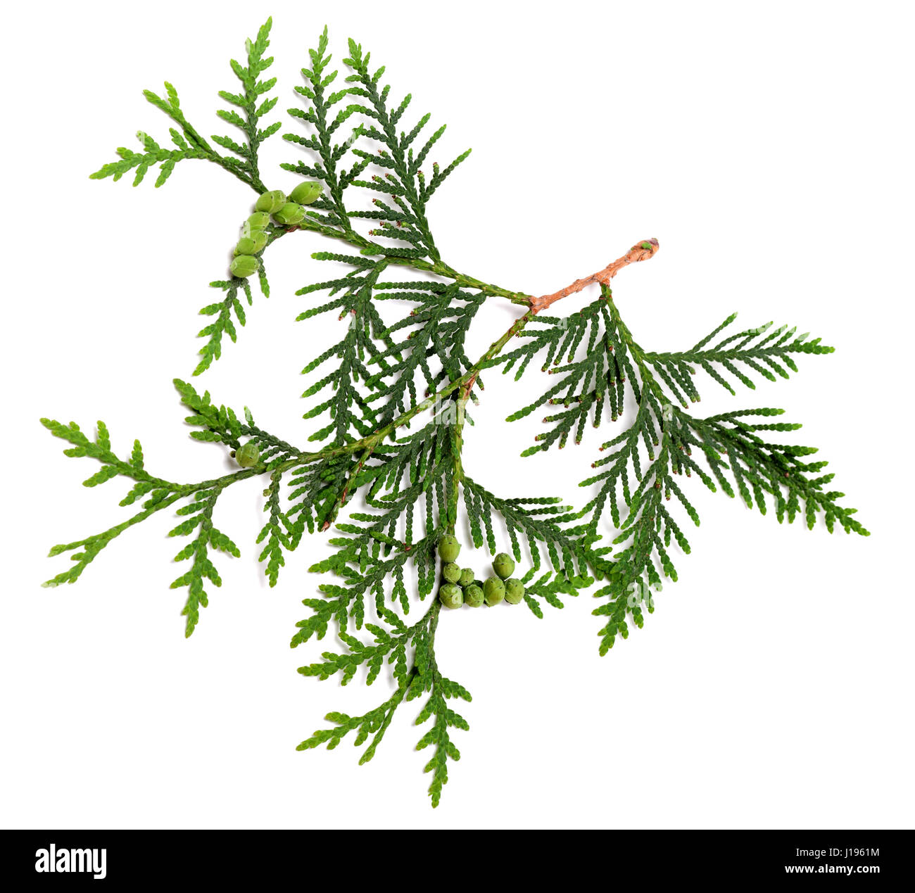 Twig of thuja with green cones isolated on white background. Top view. - Stock Image