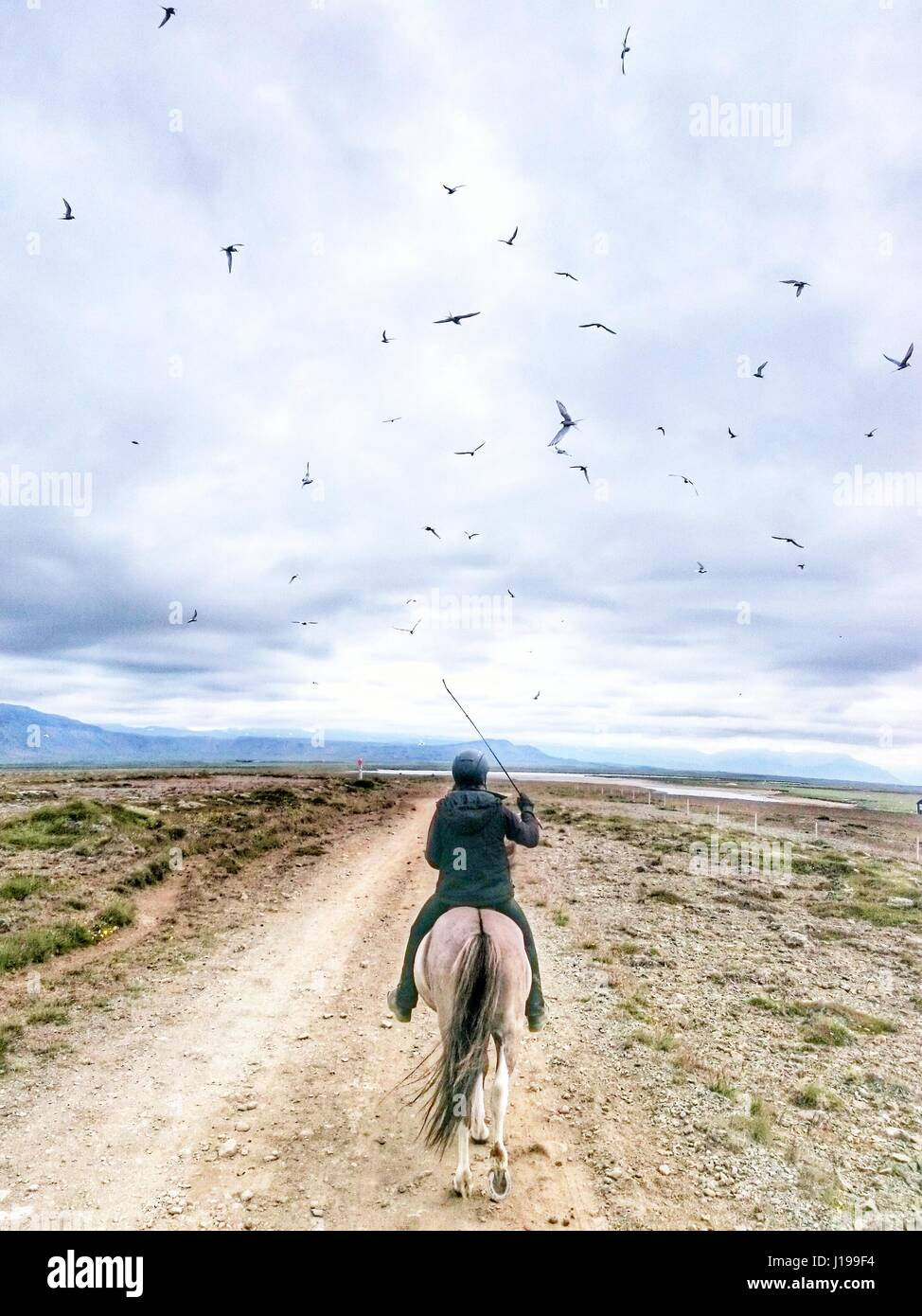 bird battlefield. horseback riding in Iceland is tricky with aggressive Arctic terns on attack. - Stock Image