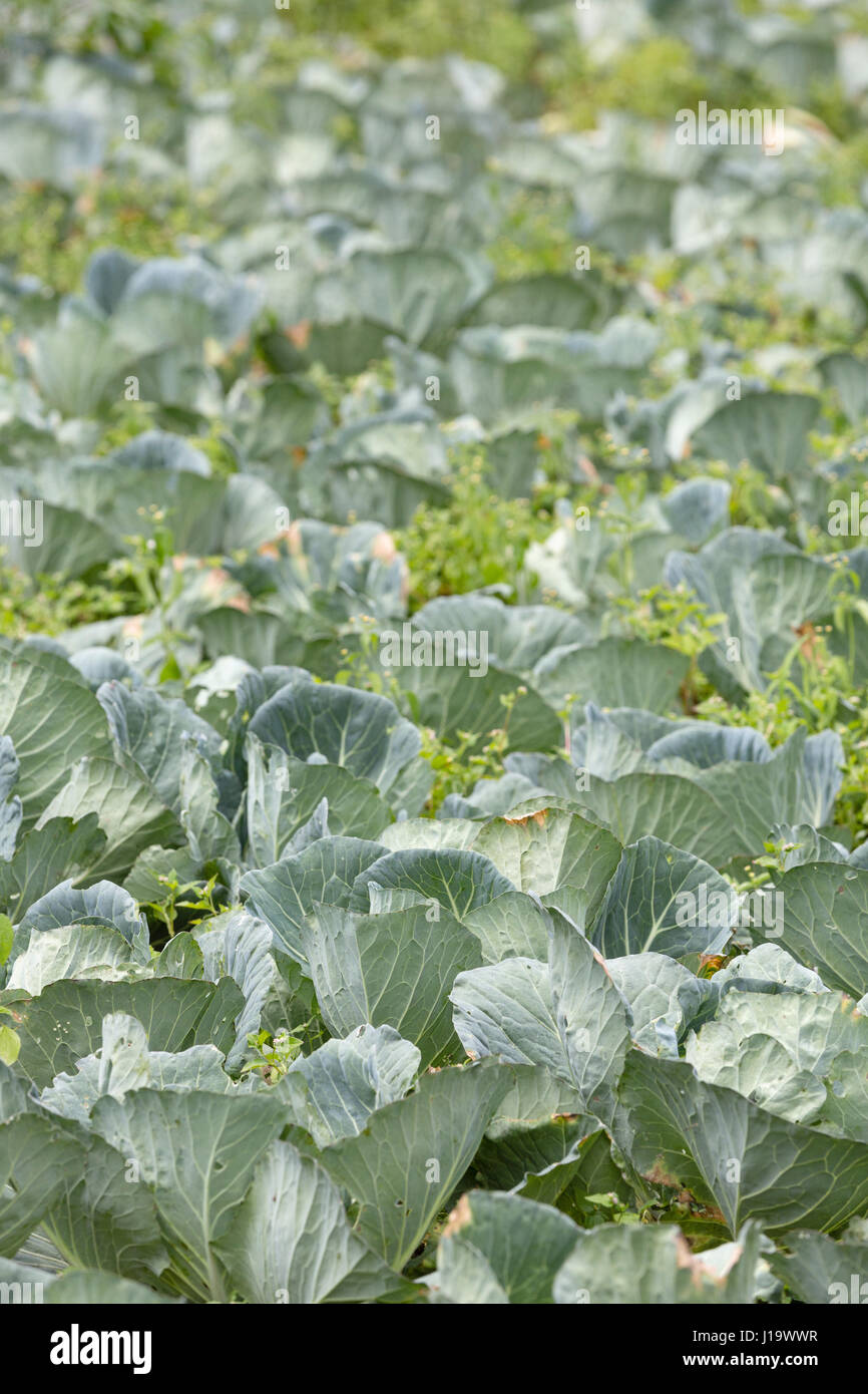 A field of Cabbage growing outside. - Stock Image