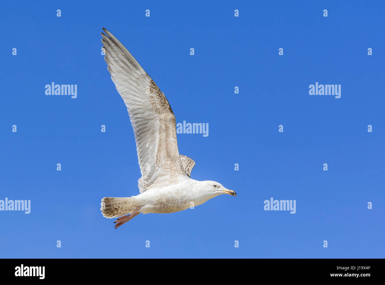 Seagull flying with its wings stretched upwards against blue sky. - Stock Image