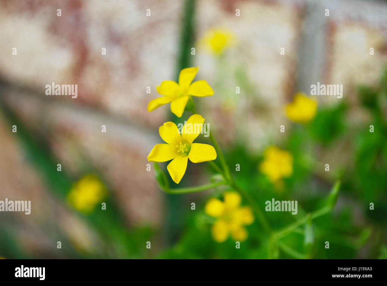 Yellow clover flower stock photos yellow clover flower stock clover yellow flower in bloom stock image mightylinksfo