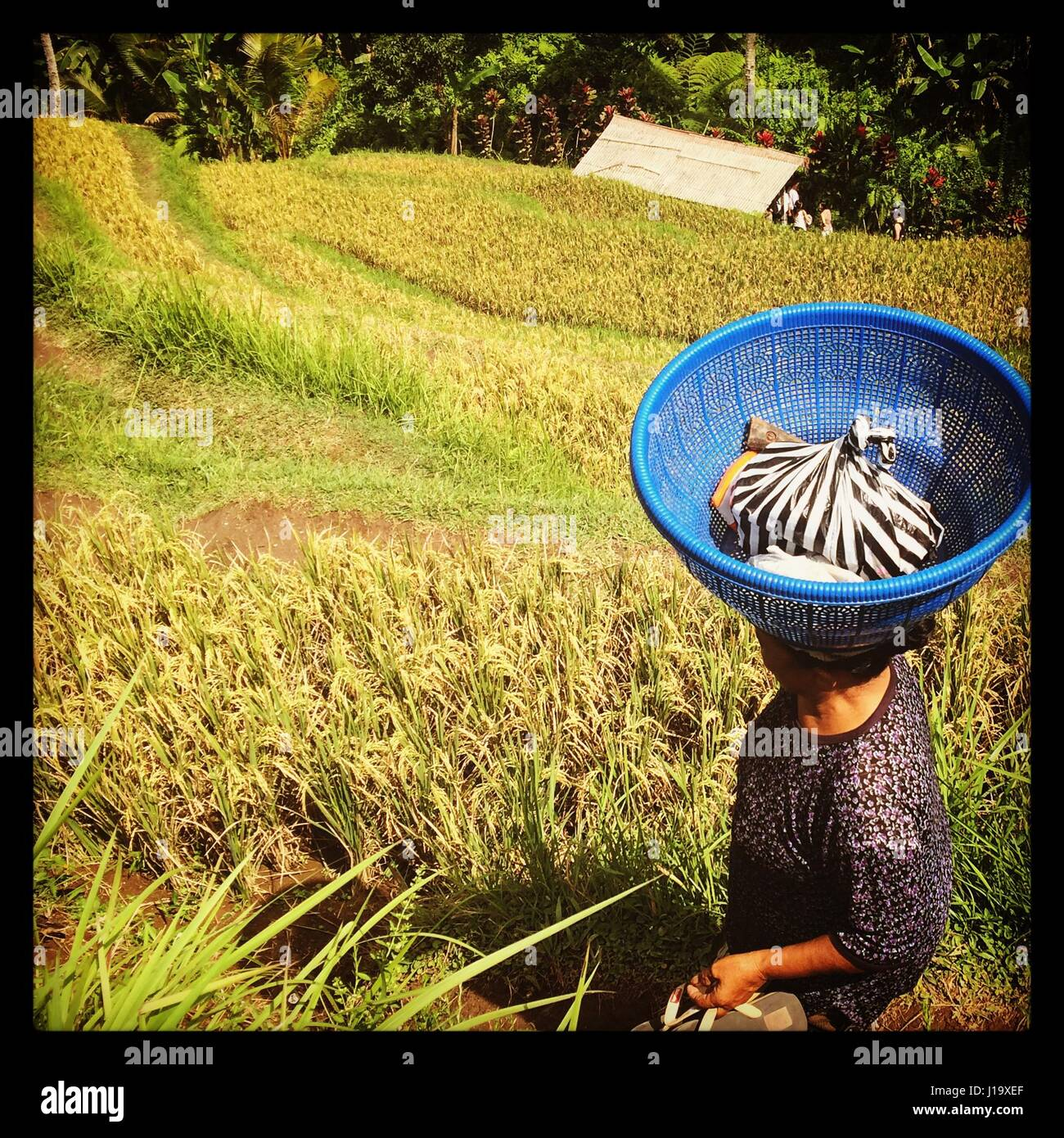 Daily indonesia . While experiencing the rice terraces as a tourist the locals still go about their daily tasks. - Stock Image