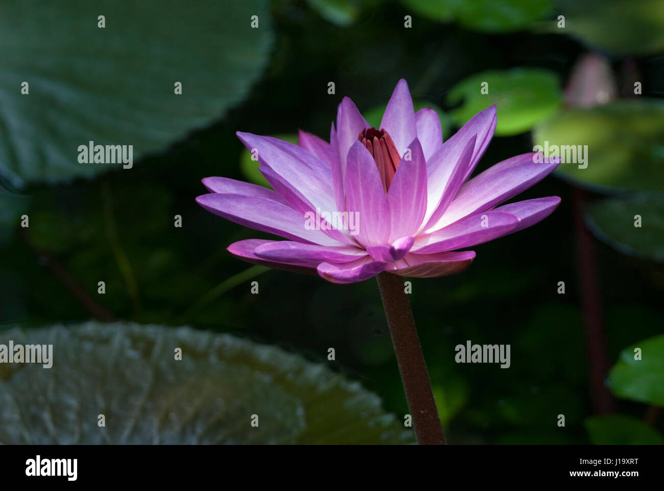 Brazilian water lily stock photos brazilian water lily stock the deep pink flower of a tropical brazilian water lily between the leaves of the plant izmirmasajfo