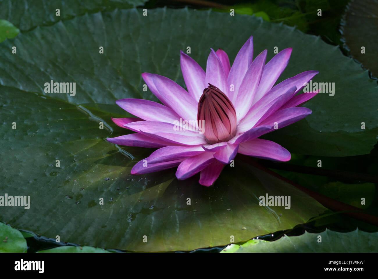 Brazilian water lily stock photos brazilian water lily stock the deep pink flower of a tropical brazilian water lily sitting on a leaf of the izmirmasajfo