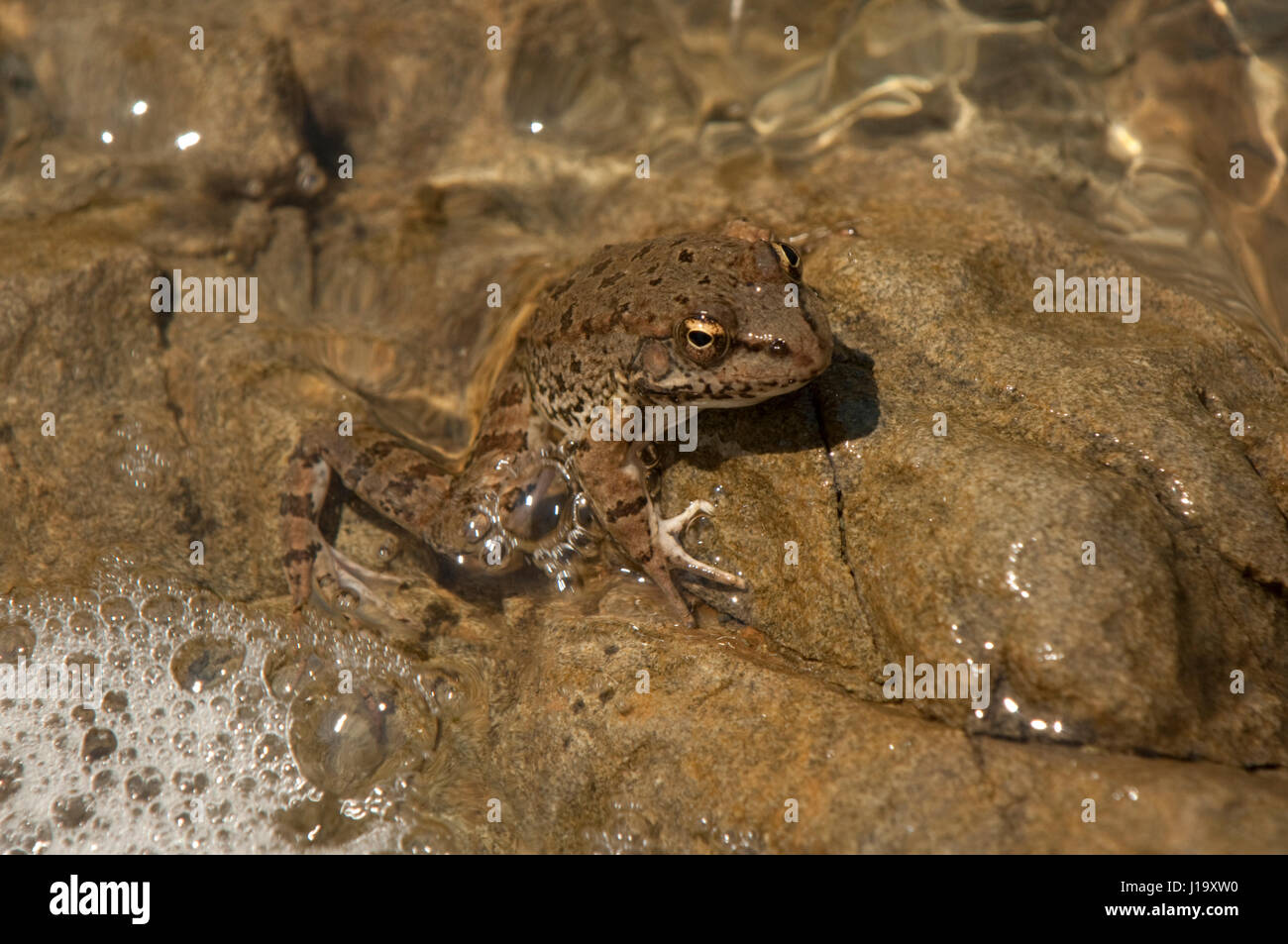 Levant water frog (Pelophylax bedriagae), formerly Rana b., holding onto a rock in a lake - Stock Image