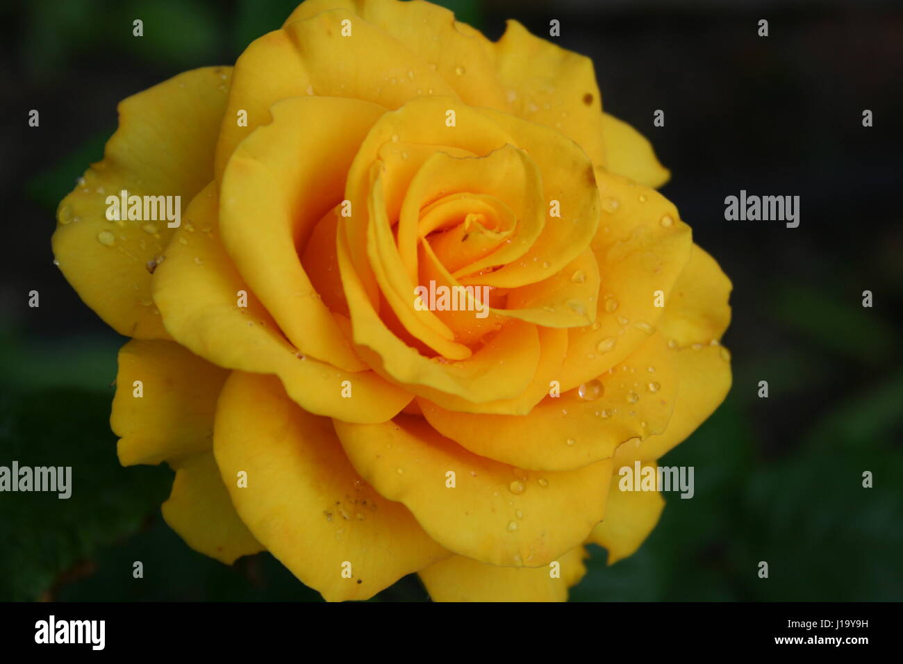 Beautiful Yellow Rose With Raindrops In The Garden Stock Photo
