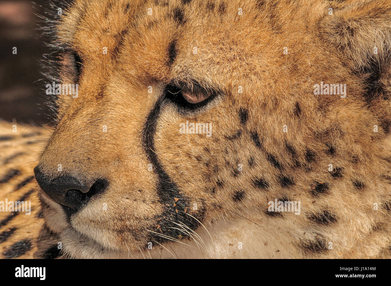 Cheetah, South Africa - Stock Image