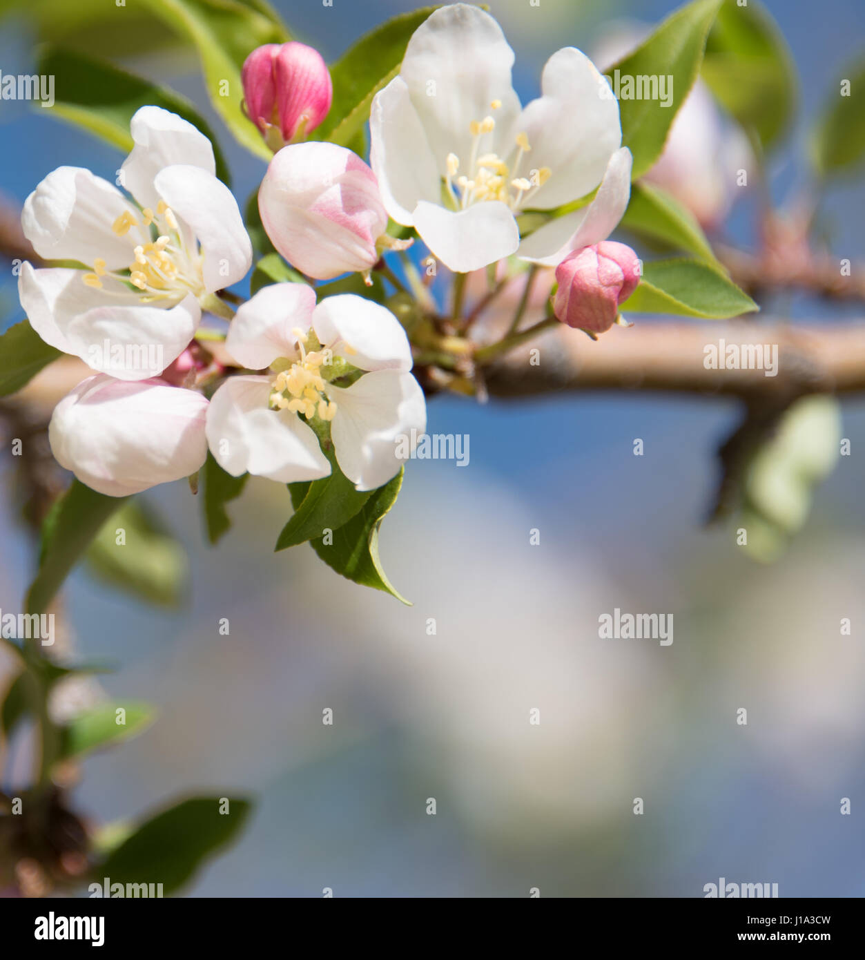 Blooming Apple Tree Branch With A Natural Blurry Background Pink And White Flowers Spring