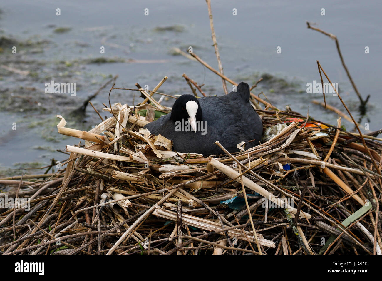Coot on nest (Fulica atra) - Stock Image