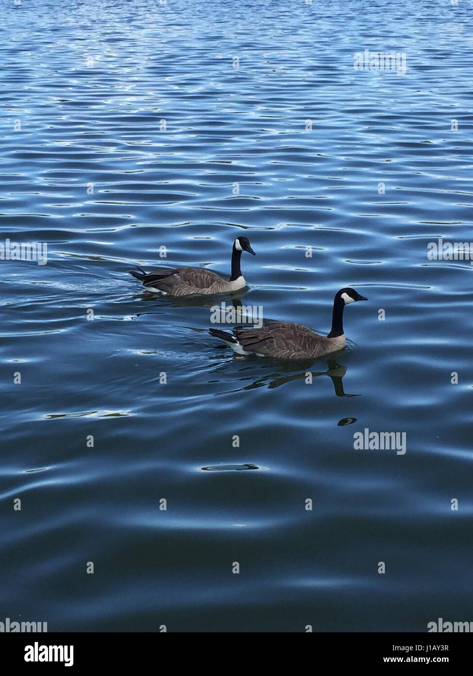 Oh Canada Goose - Stock Image