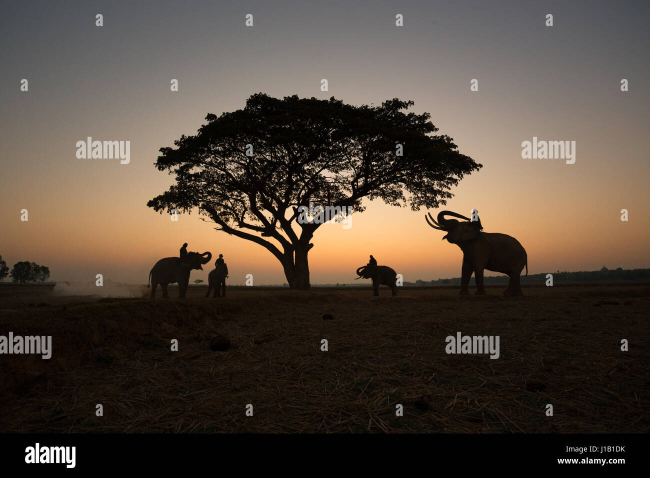 Thai Silhouette elephants on the field and tree sunrise background. - Stock Image