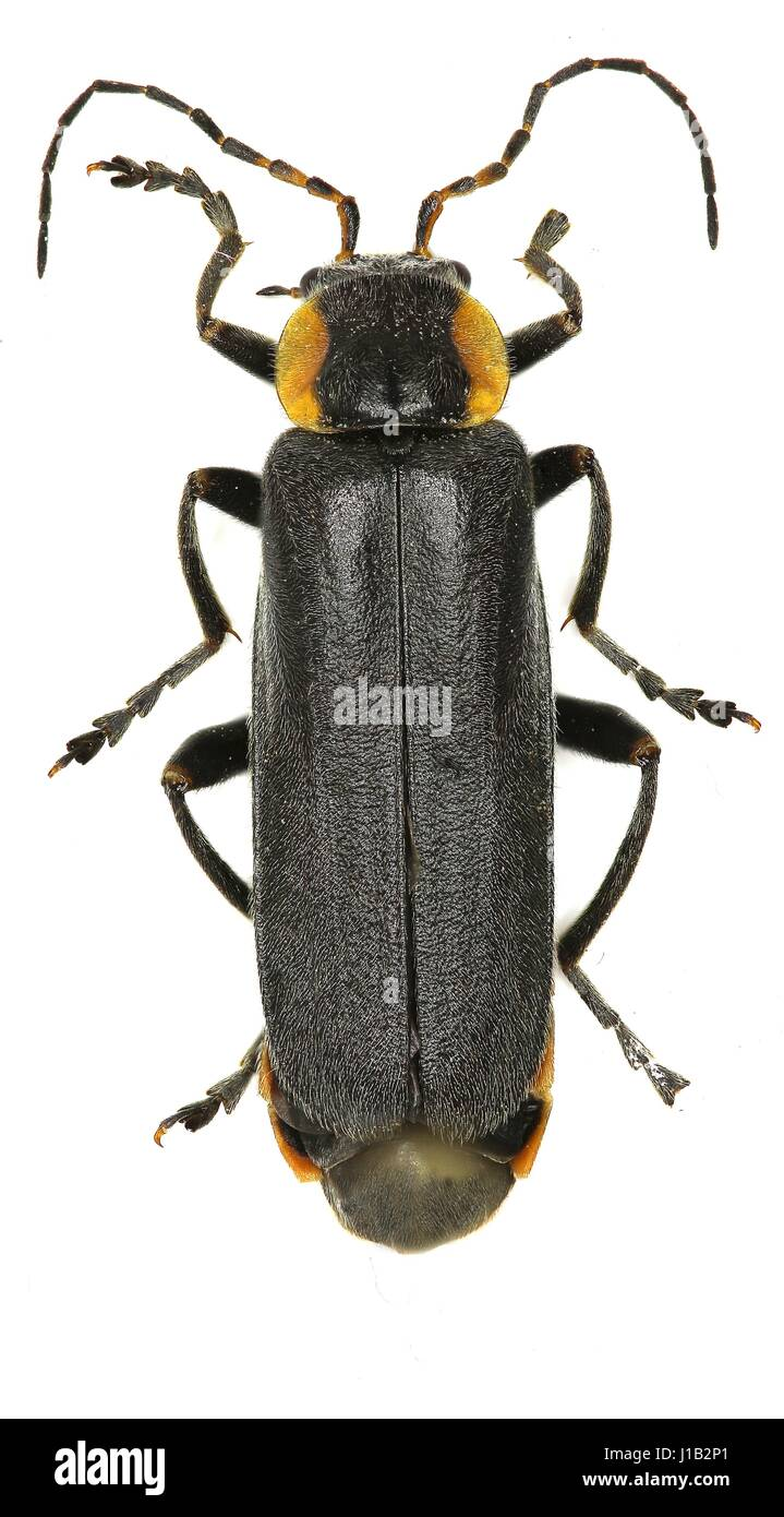 Black Soldier Beetle on white Background  -  Cantharis paradoxa (Hicker, 1960) - Stock Image