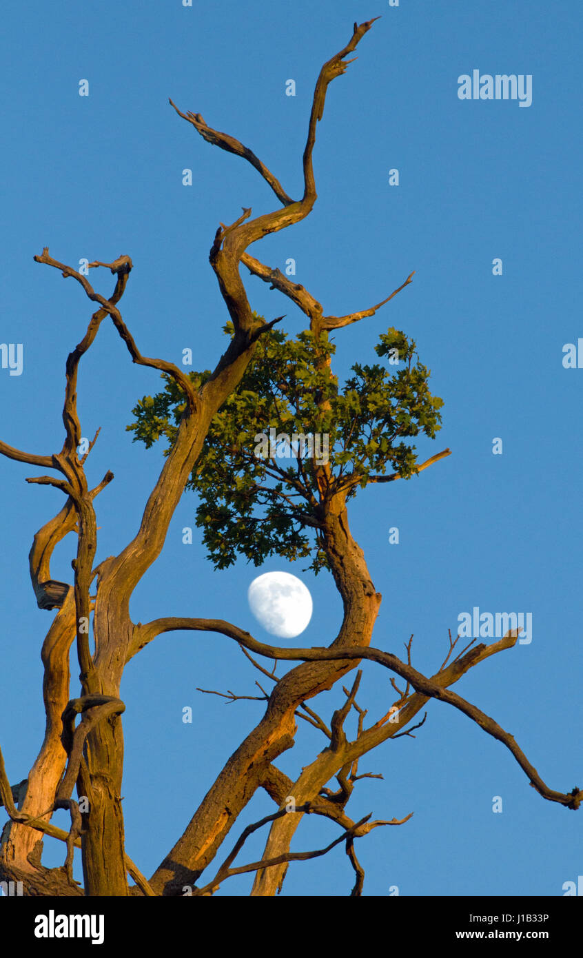 Moon framed by Oak tree survivor - Stock Image