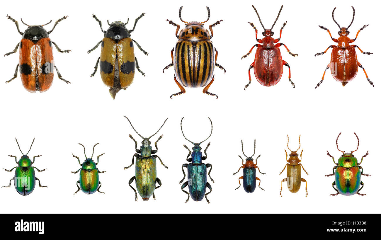 Set of Leaf-beetles of Europe  -  Chrysomelidae : Clytra laeviuscula , Leptinotarsa decemlineata , Lilioceris merdigera - Stock Image